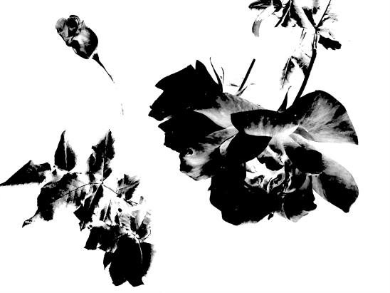 dark-rose